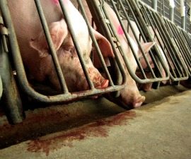 Breeding sows in gestation crates at a Smithfield Foods subsidiary in 2010