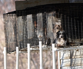 Dogs in cages at a Missouri puppy mill