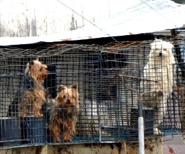 Dogs at a licensed puppy mill in Missouri in 2010