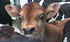 Dairy calves at the Bushway slaughter plant in Vermont, where an HSUS investigation uncovered disturbing abuses