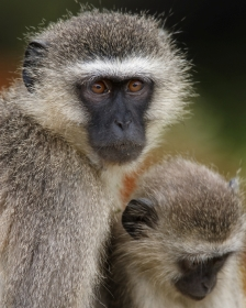 Vervet monkeys - iStockphoto