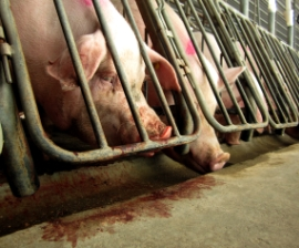 Breeding pigs in gestation crates