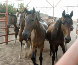 Help stop horse slaughter by taking action here