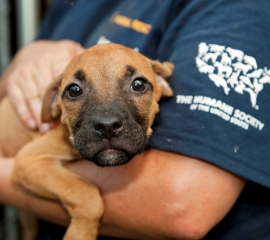HSUS rescue from a dogfighting operation in North Carolina