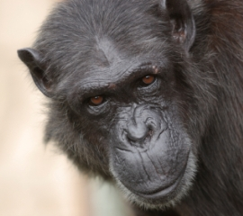 Chimpanzee closeup