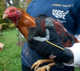 Rooster seized from suspected cockfighting operation in New York