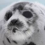 Help end Canada's commercial seal slaughter