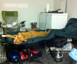 Rescued dog Hazel rests at an HSUS shelter preparing for Hurricane Irene