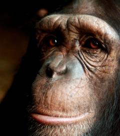 Chimpanzee - iStockphoto