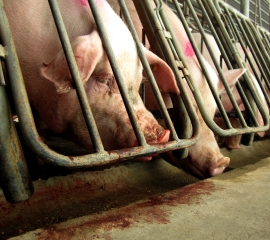 Pigs in gestation crates at a farm owned by a Smithfield Foods subsidiary in 2010
