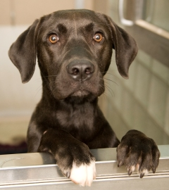 Black dog at animal shelter