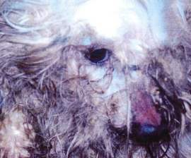 A matted white dog at Missouri puppy mill S&S Family Puppies