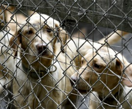Yellow Lab dogs rescued from a Vermont puppy mill