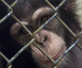 Young chimpanzee at New Iberia Research Center in Louisiana