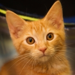 An orange kitten, one of nearly 700 cats rescued in Florida by The HSUS