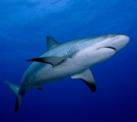 Shark - iStockphoto