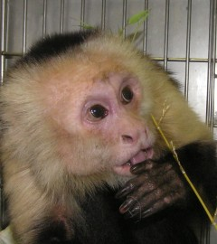 Charlie the capuchin monkey
