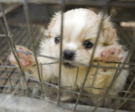 The HSUS rescues thousands of dogs from puppy mills and other cruelty