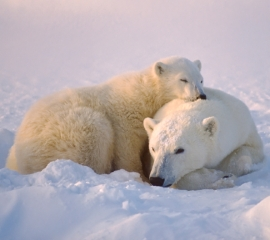 Two polar bears on snow