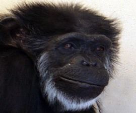Flo the chimpanzee at Alamogordo Primate Facility