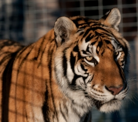 Rescued tiger at Cleveland Amory Black Beauty Ranch in Texas