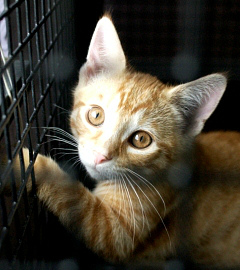 Orange kitten in an animal shelter