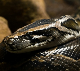 Burmese python - William Warby via Flickr