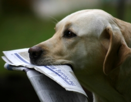 Yellow dog with newspaper in mouth