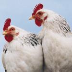 White chickens - iStockphoto