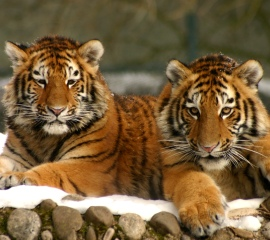 Tiger cubs in snow