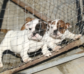 Stokes County, North Carolina puppy mill rescue