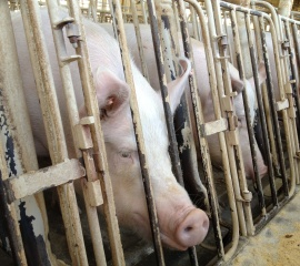 Breeding sow in a gestation crate at Wyoming Premium Farms