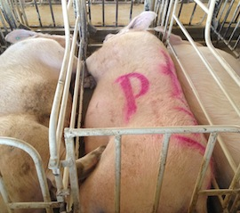 Pigs in gestation crates at Wyoming Premium Farms