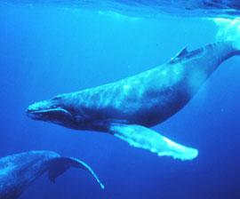 Whale_Humpback_270x224