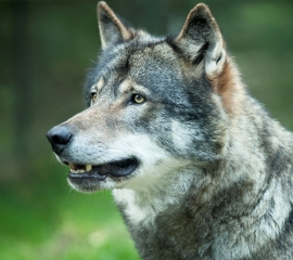 Gray wolf looking up