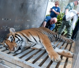 Tiger rescued from Collins Zoo in Mississippi