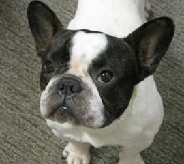 Emma, a French bulldog adopted after a N.C. puppy mill rescue