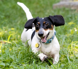 Rudy, a dachshund rescued from a West Virginia puppy mill