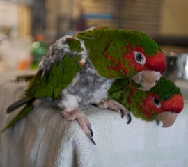 Mitred conures at Ohio bird rescue