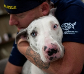 Texas pit bull rescue - great Dane