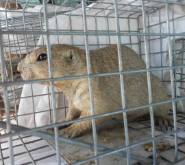 A prairie dog being relocated in South Dakota