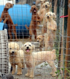 Dogs in outdoor pens at the Mississippi puppy mill