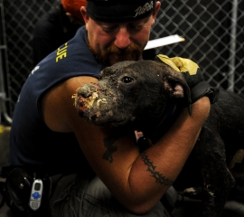 Stallone, a dog rescued from fighting