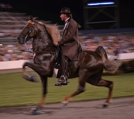 270x240 tn walking horse celebration - chad sisneros