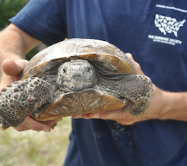 Gopher tortoise being removed from planned construction site in Florida