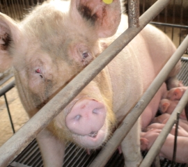Nursing sow in crate in China