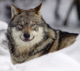 270x240 wolf in snow istock