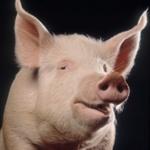 Pig istock