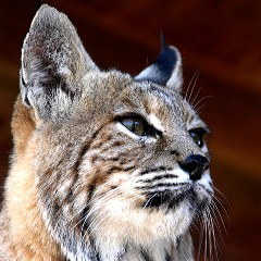 Bobcat at the Fund for Animals Wildlife Center