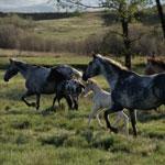 150x150-wild-horses-stock